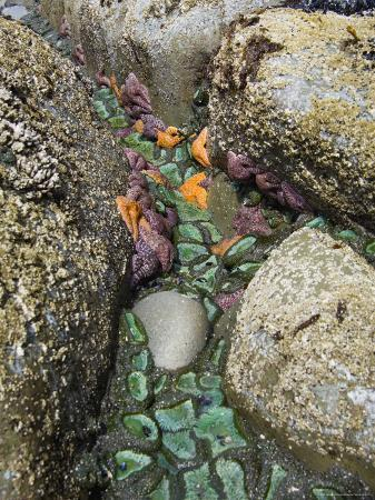 Giant Green Anemones, and Ochre Sea Stars, Exposed on Rocks, Olympic National Park, Washington, USA