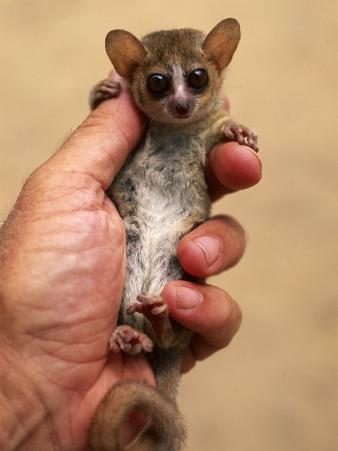 Russet Mouse Lemur, Held in Hand to Show Small Size, Kirindy, Madagascar