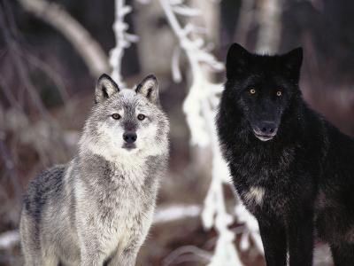 Grey Wolves Showing Fur Colour Variation, (Canis Lupus)