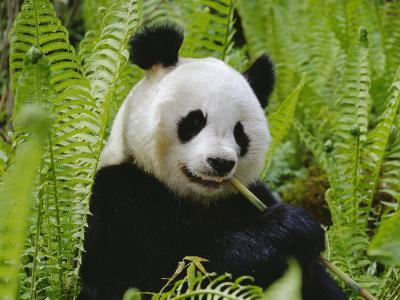 Giant Panda Feeding, Qionglai Mtns, Sichuan, China