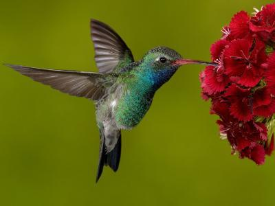 Broad-Billed Hummingbird, Male Feeding on Garden Flowers, USA