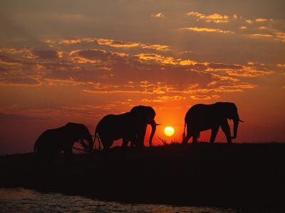 African Elephant Bulls Silhouetted at Sunset, Chobe National Park, Botswana
