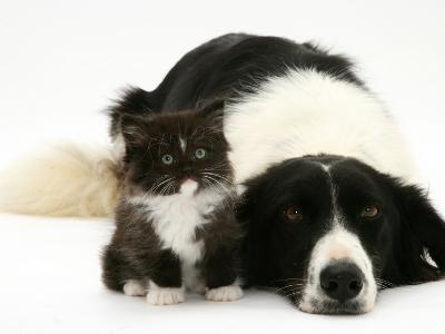 Black-And-White Border Collie Lying Chin on Floor with Black-And-White Kitten