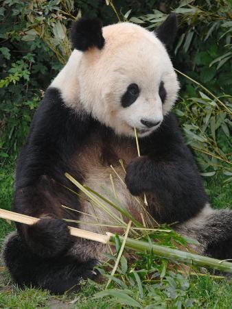 Giant Panda, Eating Bamboo