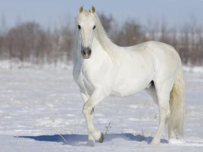 Grey Andalusian Stallion Portrait in Snow, Longmont, Colorado, USA