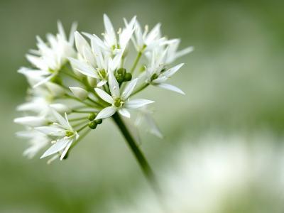 Ramson Wild Garlic Flower, Coombe Valley, Cornwall, UK