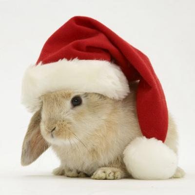 Rabbit Wearing a Father Christmas Hat