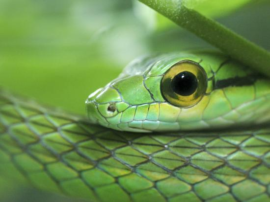 Close Up Of Satiny Parrot Snake Costa Rica Photographic