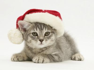 Grey Spice Kitten Wearing a Father Christmas Hat