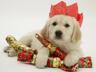 Golden Retriever Puppy with Christmas Crackers Wearing Paper Hat