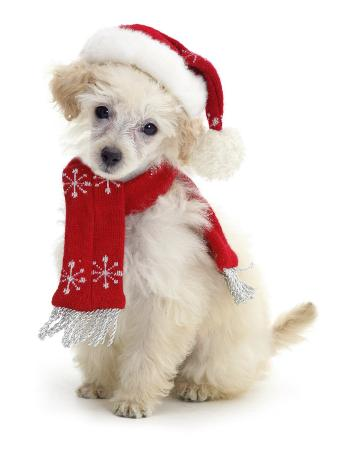 Poodle with Scarf and Father Christmas Hat