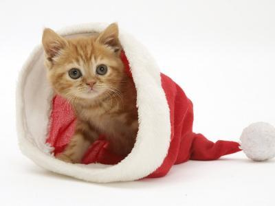 Red Tabby Kitten in a Father Christmas Hat