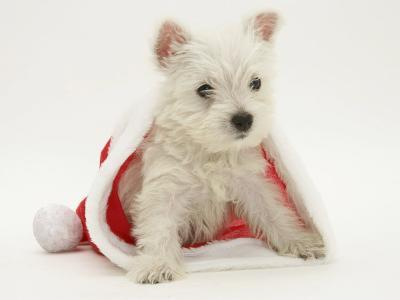 West Highland White Terrier Puppy in a Father Christmas Hat