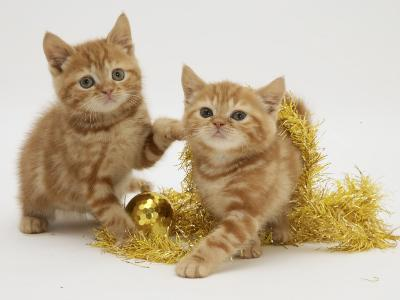 Two Red Tabby Kittens with Gold Christmas Tinsel