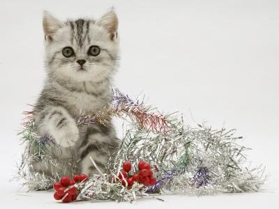 Silver Tabby Kitten with Silver Tinsel and Red Berry Christmas Decoration