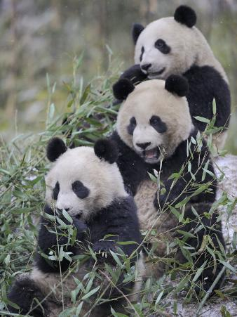 Three Subadult Giant Pandas Feeding on Bamboo Wolong Nature Reserve, China
