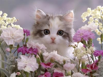 8-Week, Silver Tortoiseshell-And-White Kitten, Among Gillyflowers, Carnations and Meadowseed