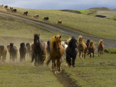 Icelandic Horses Runnng Near Landmannalaugar, Iceland