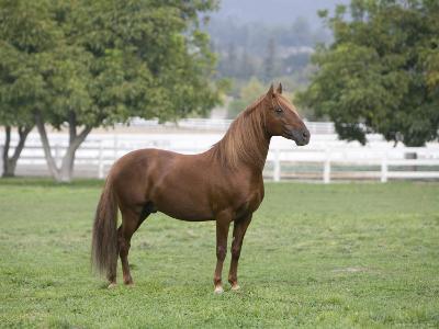 Chestnut Paso Fino Stallion, Ojai, California, USA
