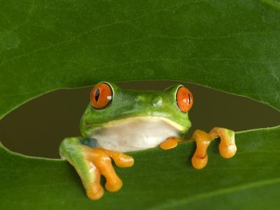 Red-Eyed Tree Frog Looking Through Hole in a Leaf, Costa Rica