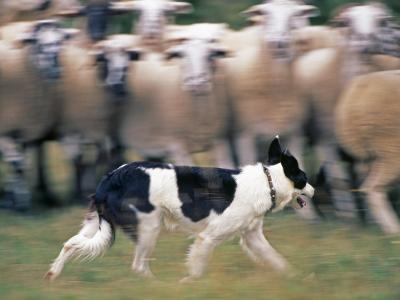 Sheepdog Rounding Up Domestic Sheep Bergueda, Spain, August 2004