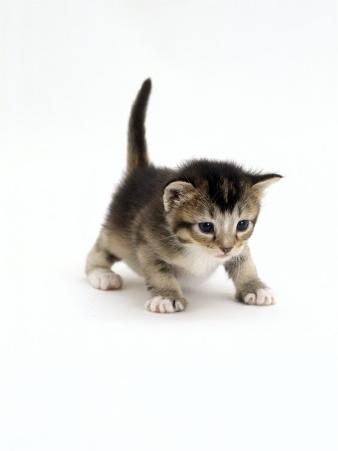 Domestic Cat, 3-Week Ticked-Tabby Kitten