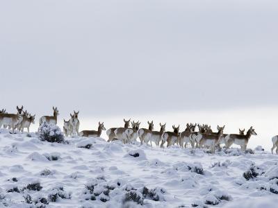 Pronghorn Antelope, Herd in Snow, Southwestern Wyoming, USA