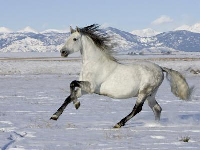 Gray Andalusian Stallion, Cantering in Snow, Longmont, Colorado, USA