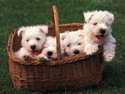 Domestic Dogs, Four West Highland Terrier / Westie Puppies in a Basket