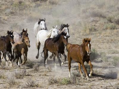 Herd of Wild Horses, Cantering Across Sagebrush-Steppe, Adobe Town, Wyoming, USA