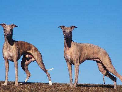 Domestic Dogs, Two Whippets Standing Together