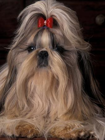Shih Tzu Portrait with Hair Tied Up, Showing Length of Facial Hair