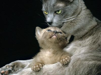 Domestic Cat, 1-Month, Burmese Kitten with His Blue Mother