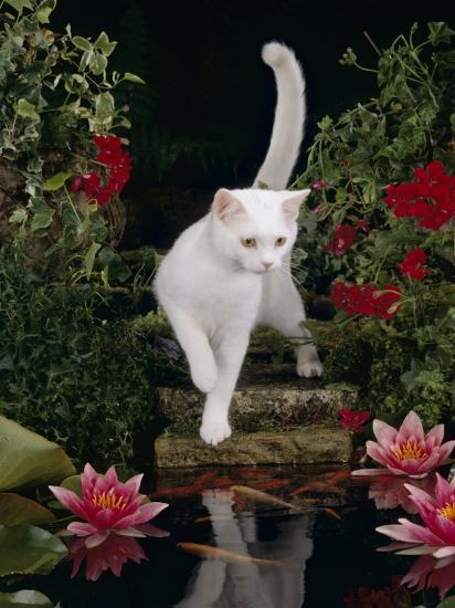 White Domestic Cat Watching Goldfish In Garden Pond