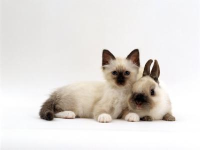 Seal-Point Birman Kitten with Baby Seal-Point Netherland Dwarf Rabbit, Colour Coordinated