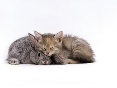 Domestic Cat, Silver Tortoiseshell Kitten with Silver Dwarf Lop Eared Rabbit