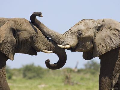 African Elephant, Bulls Sparring with Trunks, Etosha National Park, Namibia