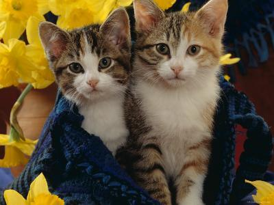 Domestic Cat, Two Tabby-Tortoiseshell-And-White Kittens in Blue Bag with Daffodils