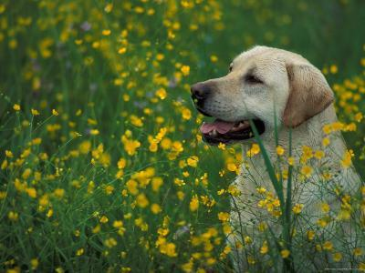 Labrador Retriever Sitting Among Flowers