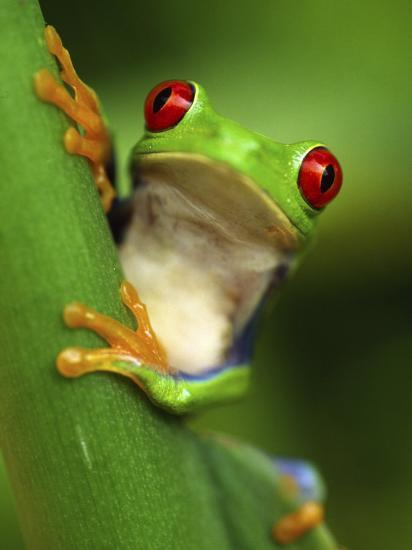 Red Eyed Tree Frog Portrait Costa Rica Photographic Print