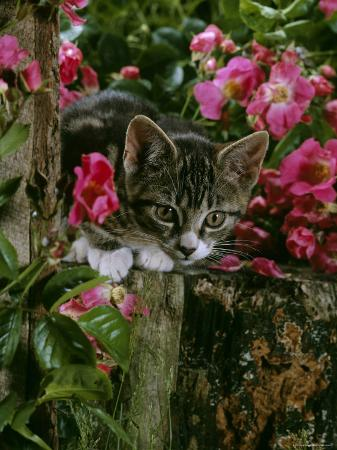 Domestic Cat, Tabby Kitten Among American Pillar Roses