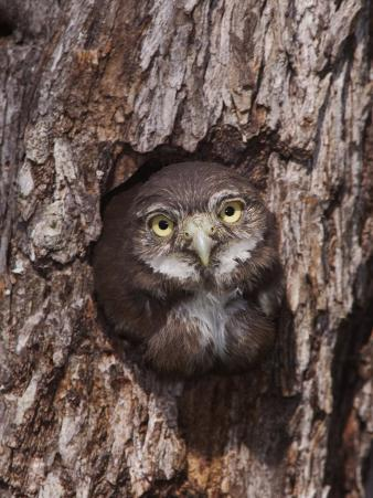 Ferruginous Pygmy-Owl Young Looking Out of Nest Hole, Rio Grande Valley, Texas, USA