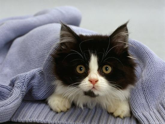 Domestic Cat Black And White Semi Longhaired Kitten In Blue Pullover