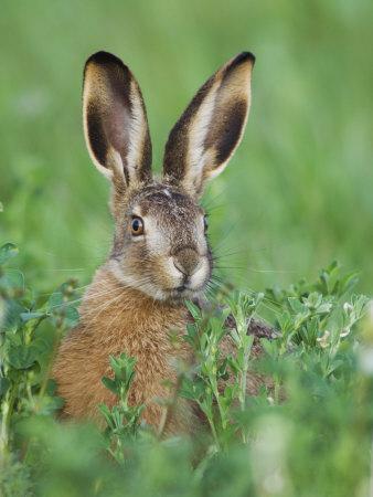 European Brown Hare Juvenile in Field, Lake Neusiedl, Austria