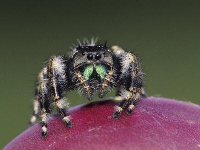 Daring Jumping Spider Adult on Fruit of Texas Prickly Pear Cactus Rio Grande Valley, Texas, USA