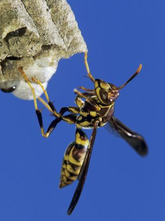 Paper Wasp Adult on Nest, Texas, Usa, May
