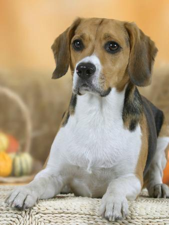 Domestic Dog, Beagle