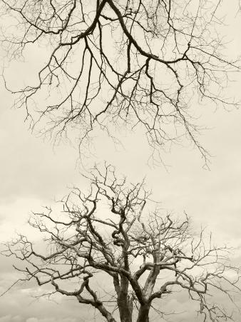 Looking Up at Branches of Dead Wych Elm Trees Killed by Dutch Elm Disease, Scotland, UK