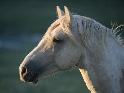 Wild Palomino Stallion, Head Profile, Pryor Mountains, Montana, USA