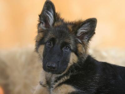 Domestic Dog, German Shepherd Alsatian Juvenile. 5 Months Old
